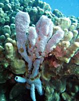 Eponge tubulaire bleu et corail - 20/10/08