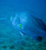 Blue-and-yellow grouper - 30/10/14