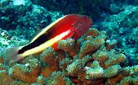 Poisson-faucon sur sa tour de corail solitaire - 18/03/12