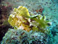 Scorpion leaf fish  yellow, brown, green, white - 20/10/08