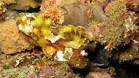 Yellow and brown leaf scorpion fish