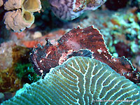 Green coral and purple scorpion leaf fish - 17/11/11
