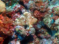 Poisson scorpion feuille dans son univers corallifère - 03/12/19