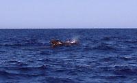 Un globicéphale dans les eaux de Mangily - 08/09/14