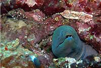 Giant moray and shrimps - 22/10/06