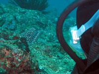 Murène léopard et plongeur - 12/06/08