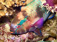 Swarthy parrotfish - 14/03/15