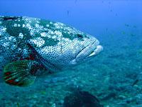 Malabar grouper, side view - 20/10/08