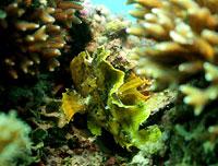 Poisson scorpion feuille jaune - 04/09/14