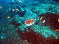Malabar grouper, big mouth - 20/10/08