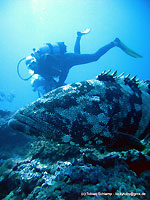 Our malabar grouper and its watchers - 17/11/11