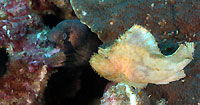 masked moray and scorpion leaf fish - 11/10/13