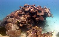 Patate de corail du jardin de Corail - 30/07/08