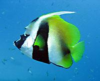 Masked bannerfish - 25/11/08