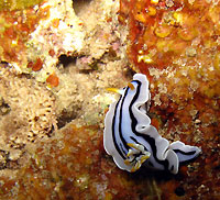 Nudibranch Chromodoris - 09/12/12