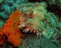White tassled scorpionfish and orange sponge - 07/04/20