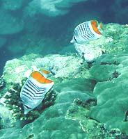 poisson papillon de Madagascar - 17/01/07
