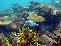 Puffer in a coral garden - 07/10/15