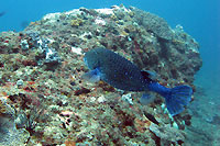 poisson coffre jaune, mais bleu  - 06/10/15