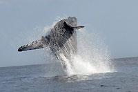 Baleine en plein saut - 21/08/09