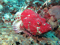 Red headed scorpion fish - 31/10/20