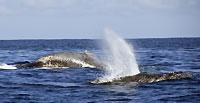 Souffle et bosse de baleines  - 24/06/12