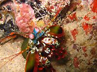 Squille multicolore  - 11/06/11