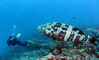 The malabar grouper and I - 07/10/13