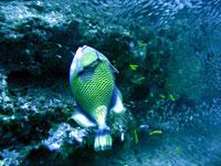 Moustache triggerfish at Bevato - 20/10/08