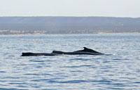 Trois dos de baleines - 01/09/13