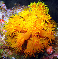 Tubastrée orange jaune - 09/12/12