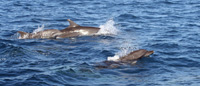 Trois grands dauphins -