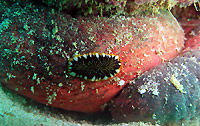 Flat worm on sea cucumber
