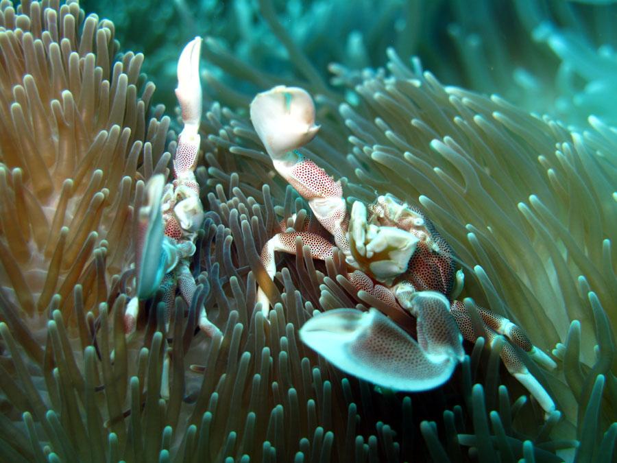 Photo,  de Neopetrolisthes maculatus  prise par Fabrice Rozier
