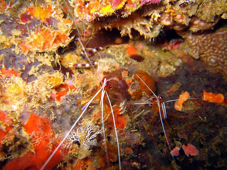 Photo,  de Stenopus hispidus - Lysmata amboinensis  prise par Corine Diacon