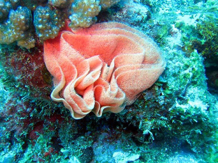 Photo,  de Hexabranchus sanguineus  prise par Corine Diacon