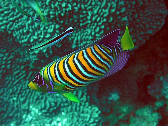 Photo,  de Pygoplites diacanthus (f)  prise par Omar Agis Saca