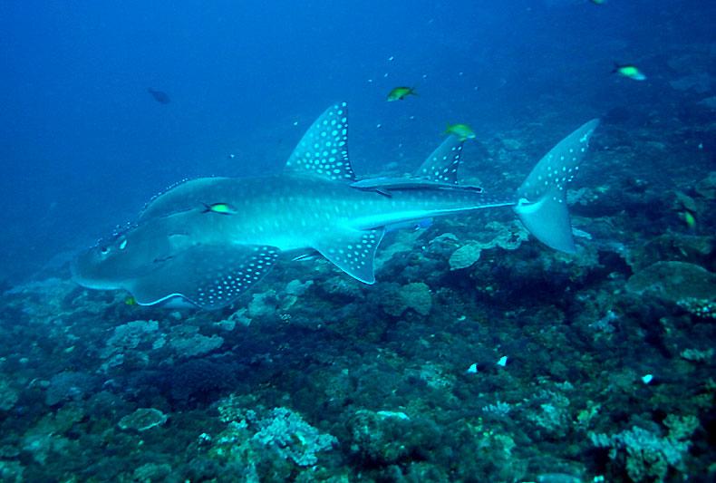 Big guitarfish