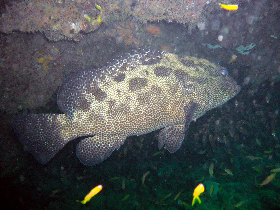 Photo,  de Epinephelus polyphekadion (f)  prise par Stéphane Engel