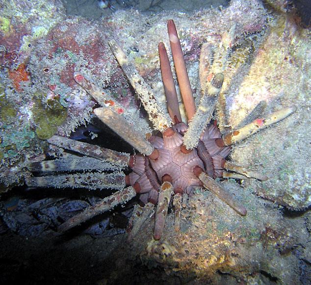 Photo,  de Phyllacanthus imperialis  prise par Jean-Pierre Rausch