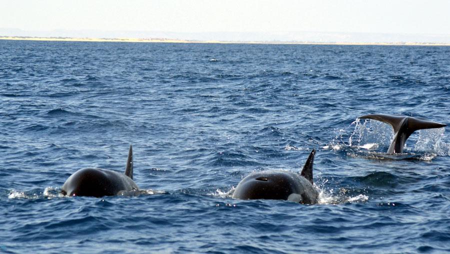Photo,  de Orcinus orca  prise par Thomas Mosselmans