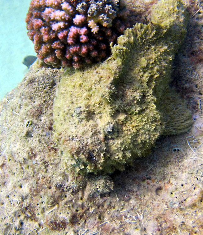 Photo,  de Synanceia verrucosa (f)  prise par Charles Dufourneau et Kamline Papageorgiou