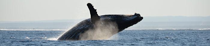 Humpback whale Ifaty