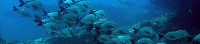 Humpback snappers in a cathedral dive site