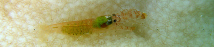 Small unknown shrimp of the Ranobe lagoon