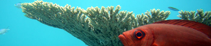 Soldier fish sentry under coral