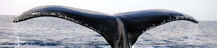 A humpback whale dive at Ifaty