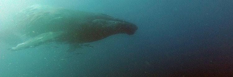 Humpback whale at Cathedral, Mangily-Ifaty