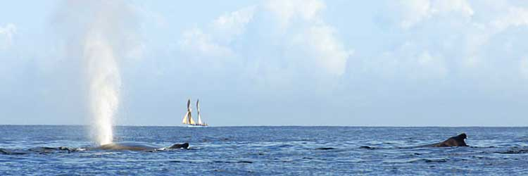 Two whales surfacing, a schooner far away