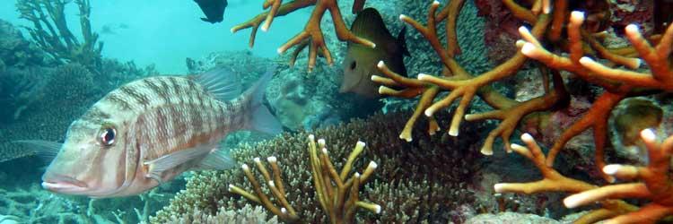 Capitaine à oreille orange au jardin de corail